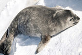 Seal rests — Stock Photo