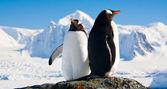 Dois pinguins sonhando — Foto Stock