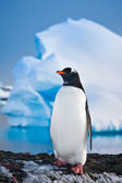 Penguin on the rocks — Stock Photo