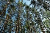 Bois de pin — Photo