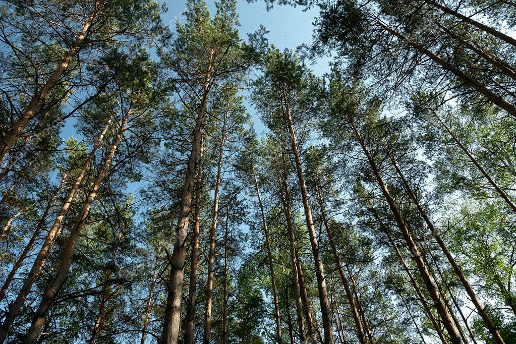 Pine wood against the blue sky — Stock Photo #6873097