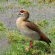 Egyptian goose — Stock Photo