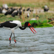 Stock Photo: Saddle-billed stork with fish (ephippiorhyncbus senegalensis)
