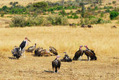 African vultures — Stock Photo