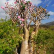 Desert rose - adenium obesum — Stock Photo
