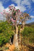 Rose du désert - adenium obesum — Photo