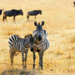 Zebra with foal — Stockfoto
