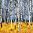 birch grove — Stock Photo