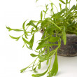 Tarragon spice — Stock Photo #7011641