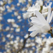 Beautiful magnolia blossom — Stock Photo