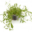 Tarragon spice — Stock Photo