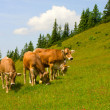 Stock Photo: Herd of cows grazing in Alps