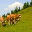 Herd of cows grazing in Alps — Stock Photo