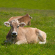 Cows grazing in Alps — Stock Photo