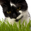 Cat in grass isolated on white background — Stock Photo