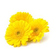 Beautiful daisy gerbera — Stock Photo
