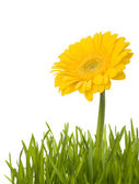 Yellow daisy in grass — Stock Photo