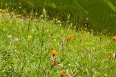 Alps flowers — Stock Photo