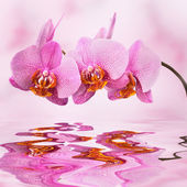 Beautiful orchid on pink blured background — Stock Photo