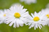 Beautiful daisies — Stock Photo