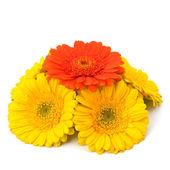 Beautiful daisy gerbera flowers — Stock Photo