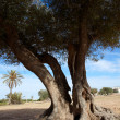 Stock Photo: Cleft body of old olive tree