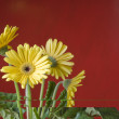 Yellow daisy over red background — Stock Photo