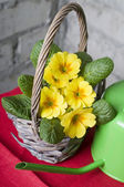 Primrose in a basket — Stockfoto