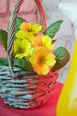 Primrose in a basket — Stock Photo