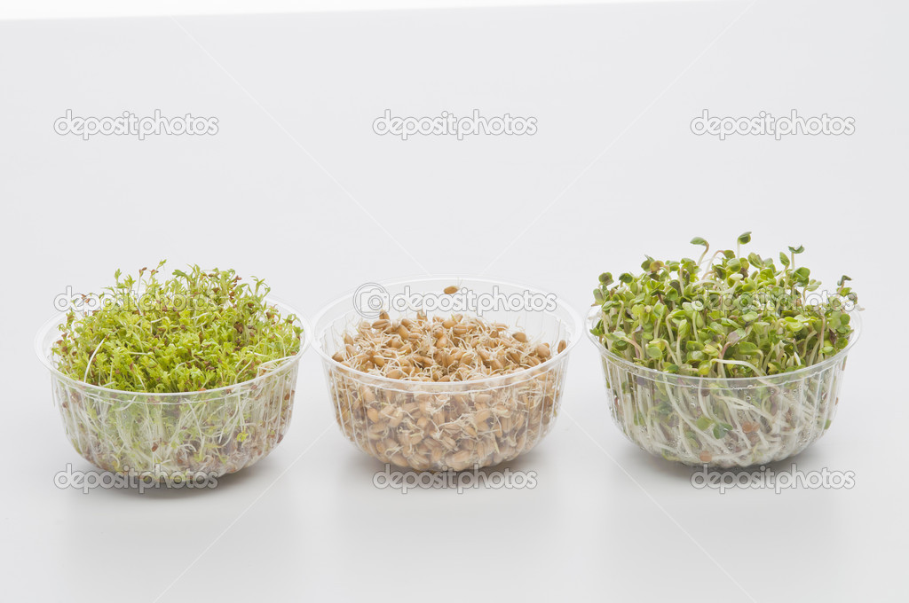 Radish Seeds Germination Germinated Seeds of Cress