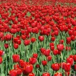 Field of red tulips - Stock Photo