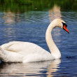 Swan at lake — Stock Photo #6862893