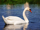 Swan at lake — Stock Photo