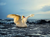 Swan at sea — Stock Photo