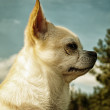 Chihuahua — Stock Photo #7150119