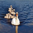 Swan family — Stock Photo #7239854