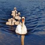 Swan family — Stock Photo