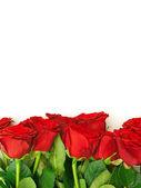 Růže hranice — Stock fotografie