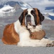 St. Bernard Dog — Stock Photo #7336885