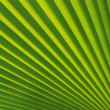 Blatt  von Fcherpalme, Detail, Hintergrund, Textur - Stock Photo