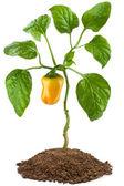 Sweet pepper plant — Stock Photo