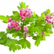 Flowering branch of Crataegus - Stock Photo