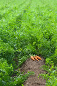 Carrots are ready to harvest — Stock Photo