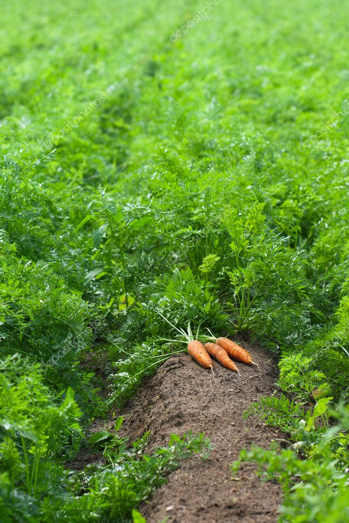 Carrot field with harvest of carrots — Foto de Stock   #6840846