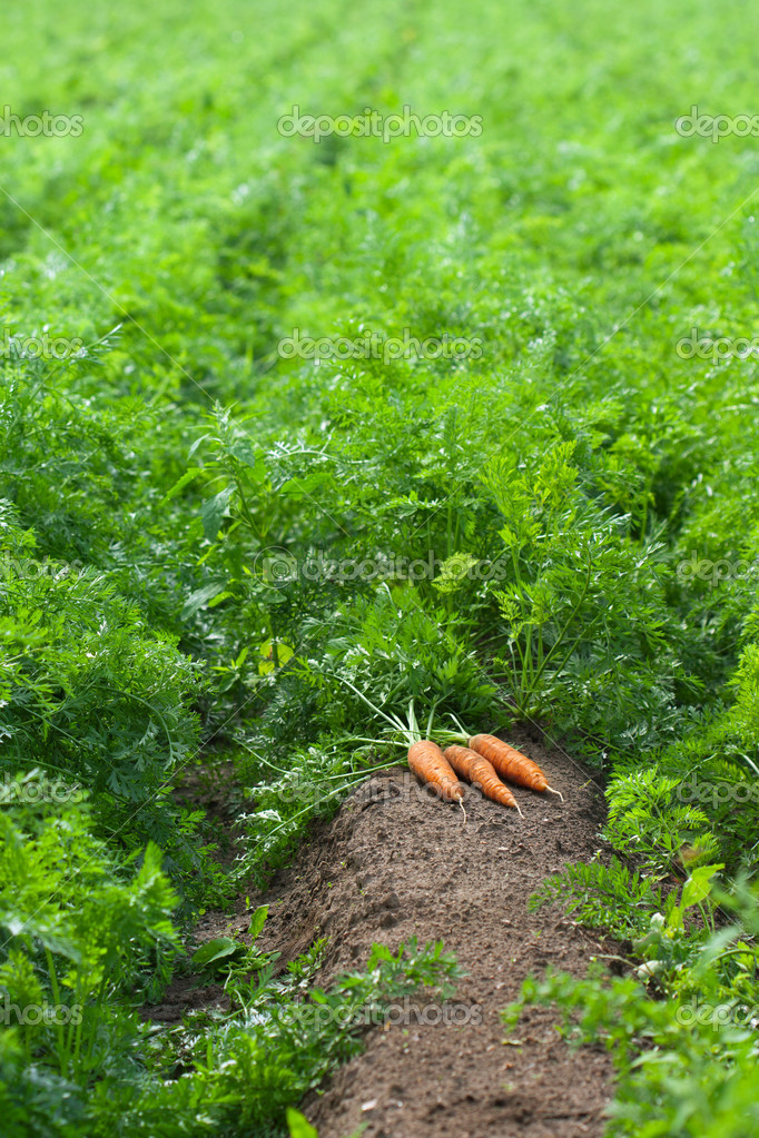 Carrot field with harvest of carrots  Foto Stock #6840846