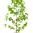 Young birch tree — Stock Photo