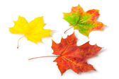 Three colorful maple autumnal leaves — Stock Photo