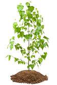 Jonge birch tree — Stockfoto