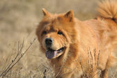 Dog breed of Chow-chow — Stock Photo