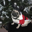 Royalty-Free Stock Photo: Christmas Pug  - Weihnachts-Mops
